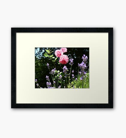 Roses and lavender Framed Print