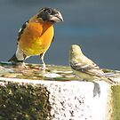 Black Headed Grosbeak & Lesser Goldfinch Bird by Patricia Barmatz