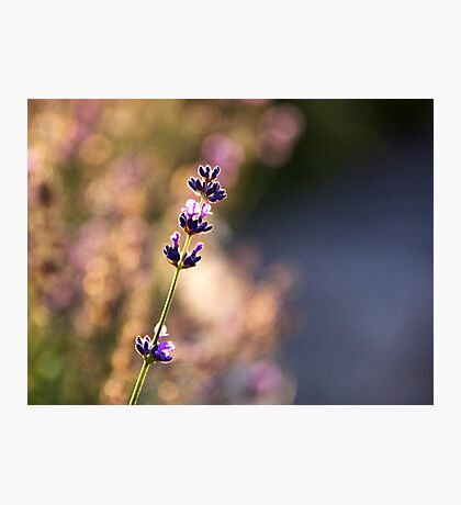 Lavender dreaming Photographic Print