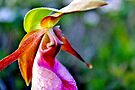 Pink Lady's Slipper IV by Kathleen Daley
