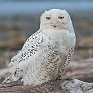 Snowy Owl Watching from a Driftwood Perch by Jeff Goulden