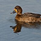 Female Greater Scaup by Jeff Goulden