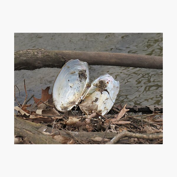 oyster shell Photographic Print