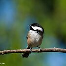 Black Capped Chickadee Perched on a Branch by Jeff Goulden