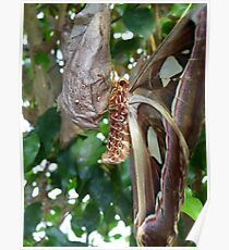 Atlas Moth Poster