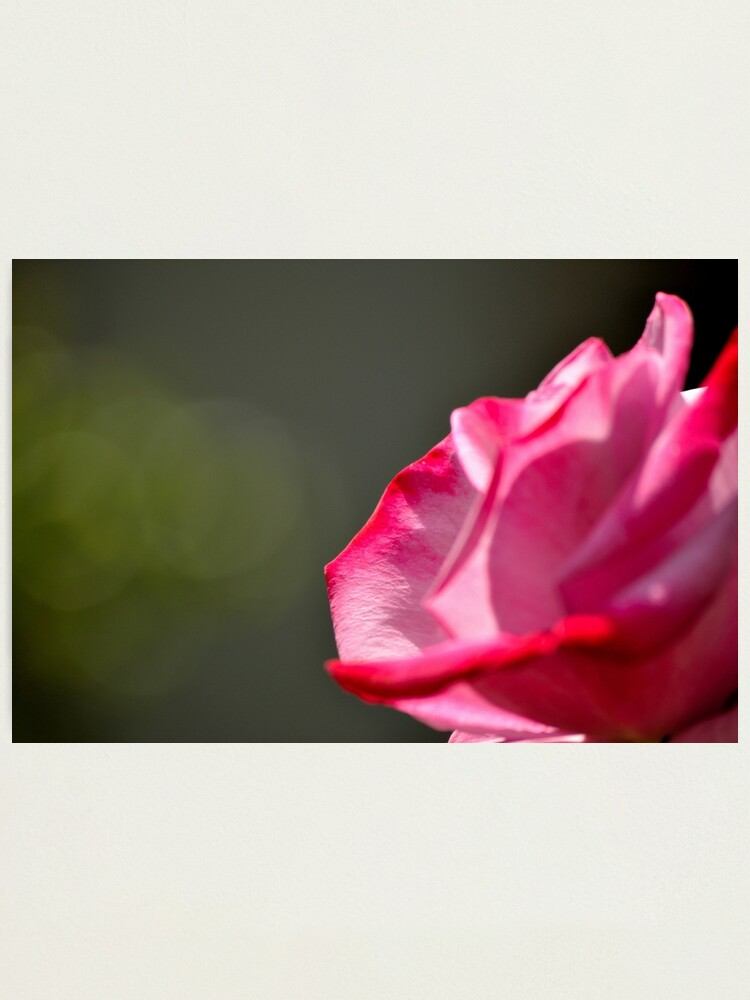 Alternate view of Dad's Rose Photographic Print