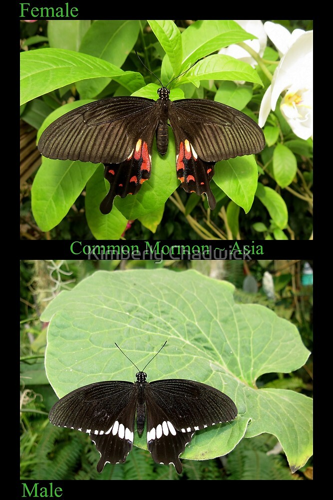 Common Mormon Butterfly (Asia) by Kimberly Chadwick