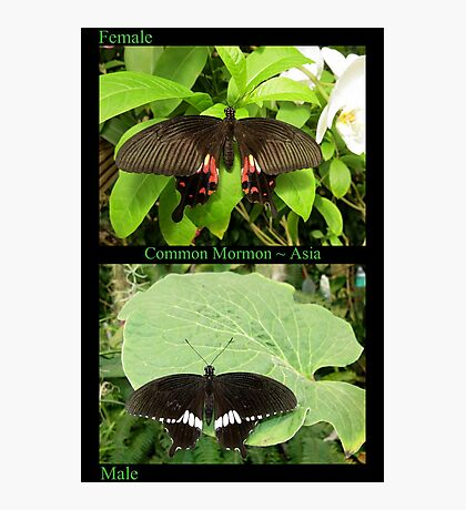 Common Mormon Butterfly (Asia) Photographic Print