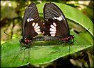 True Cattleheart Butterflies Breeding (South America) by Kimberly Chadwick