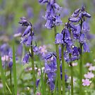 Scottish Bluebell by Braedene