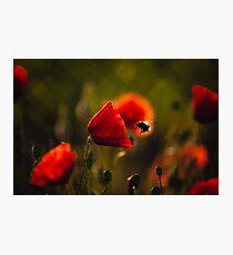 Bumble-bee Photographic Print