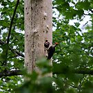 Pileated Woodpeckers Feeding  by Robert H Carney