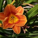 Orange Tiger Lily by IreKire