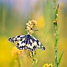 Marbled White Butterfly by Vicki Field