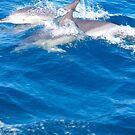 Common Dolphins - Bay of Fires Ecotour by jayview