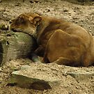 Sleeping lioness by E-Maniak