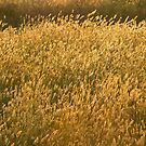 Backlit Grass by Linda Marques