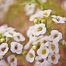 Alyssum by MarthaBurns