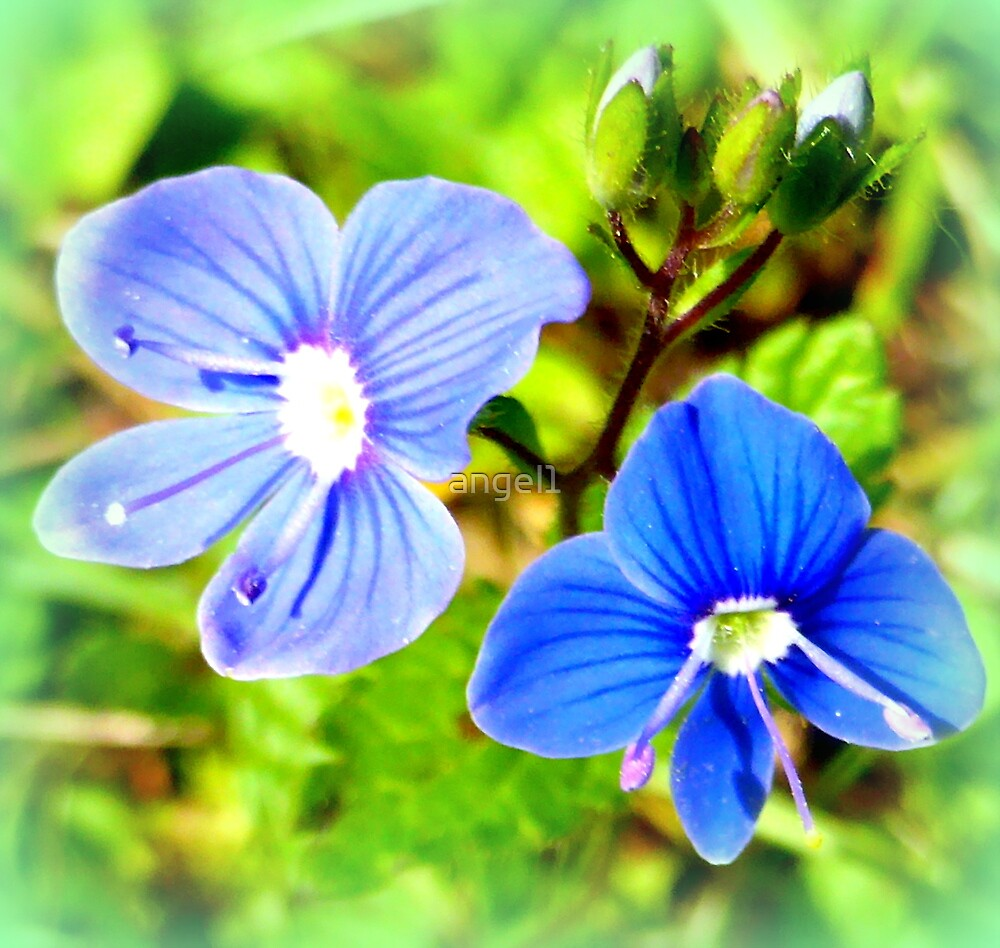 Speedwell by ©The Creative  Minds