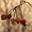 Five Wrinkled Rose Hips  by Stephen Thomas