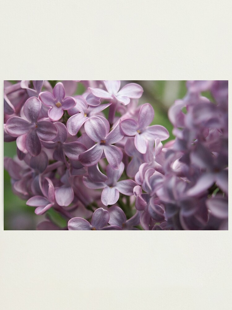 Alternate view of Lilac Photographic Print