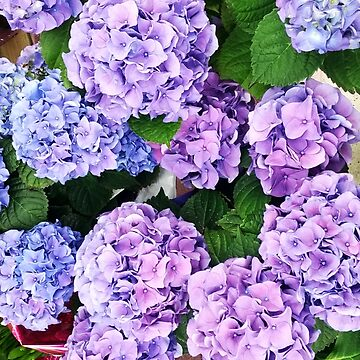 Purple Hydrangea by supercell734