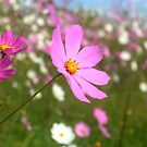 Cosmos field 6 by MikeO