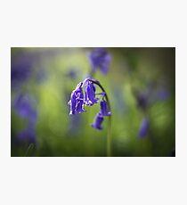 English bluebells Photographic Print