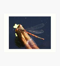 Red Demoiselle on curled-up lily leaf Art Print