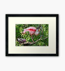 Roseate Spoonbill at Louisiana Rookery Framed Print