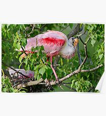 Roseate Spoonbill at Louisiana Rookery Poster