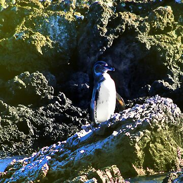 Penguin Near Isabela In The Galapagos Islands by alabca