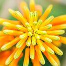 Atom Orange Flower von MMPhotographyUK