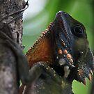 Portrait of A Boyd's Forest Dragon -  Lake Eacham FNQ by john  Lenagan