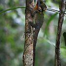 Boyd's Forest Dragon -  Lake Eacham FNQ by john  Lenagan