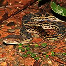 Amethystine Python  (Morelia amethistina ) -   Daintree Rainforest  FNQ by john  Lenagan