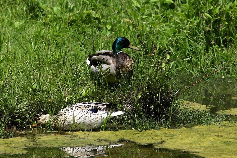 Ducks by gpuronen