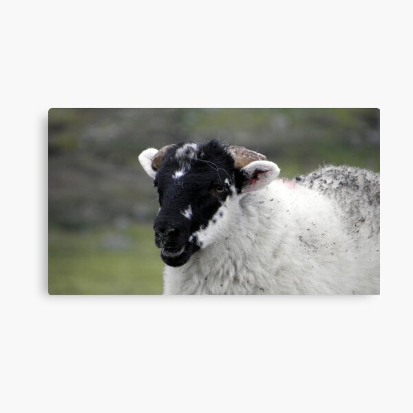 Laughing black faced lamb Canvas Print