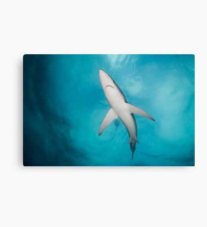 Blue Shark from below, South Africa Canvas Print