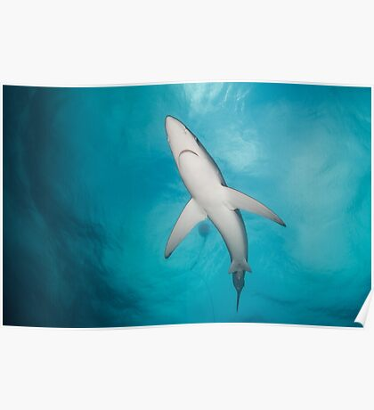Blue Shark from below, South Africa Poster