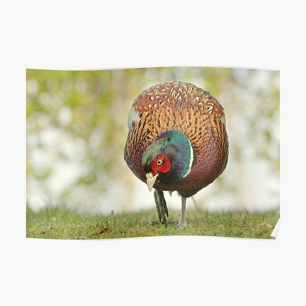 Pheasant Poster