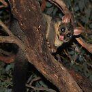 Brush-Tailed Possum  - Mount Rothwell by john  Lenagan