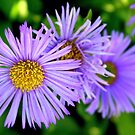 Asters by Paula Tohline  Calhoun