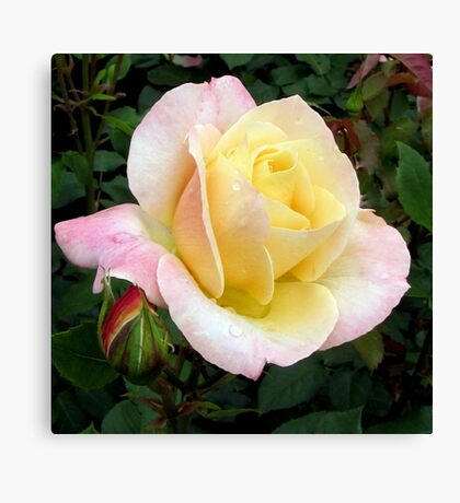 Dedicated rose - Abricot Queen Elizabeth Canvas Print