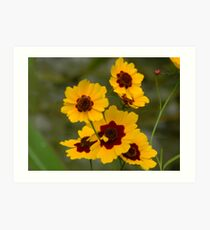 A Species of Coreopsis, I think Art Print