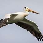 White Pelican 2016-1 by Thomas Young