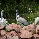 Cape Griffon Vultures by starbucksgirl26
