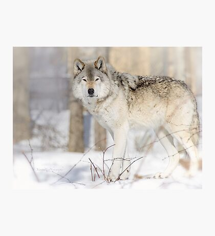 Stare - Timber Wolf Photographic Print