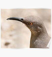 curved bill thrasher Poster