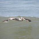 American Brown Pelican      Lo de Marcos, Nayarit, Mexico by Verna  Perry